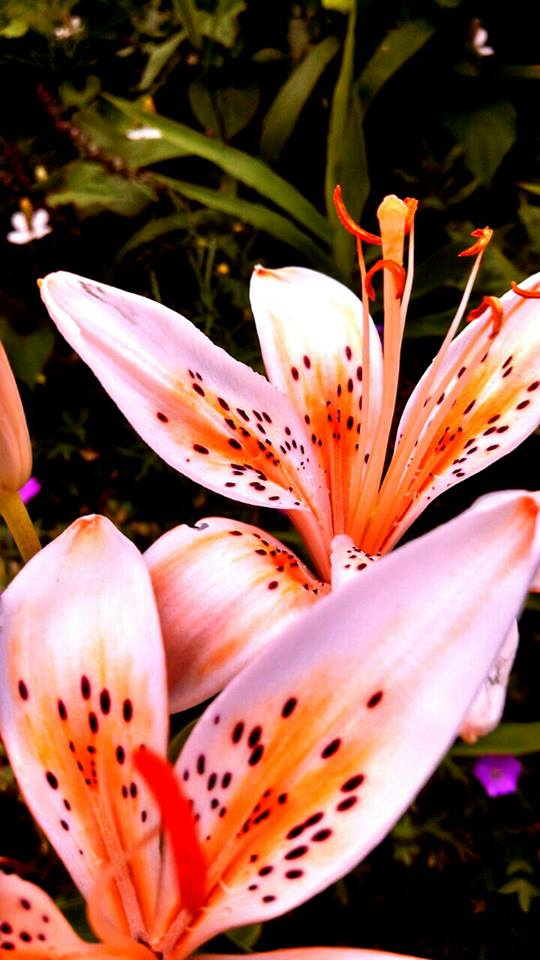 Tigress Lillies